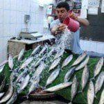 Karadeniz'de'palamut' bereketi