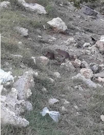 Kayaşehir'deki Fareler için Yetkililer Ne Yapıyor?