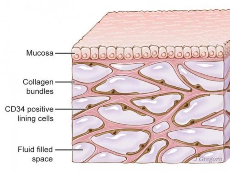 İnsan vücudunda yeni bir organ
